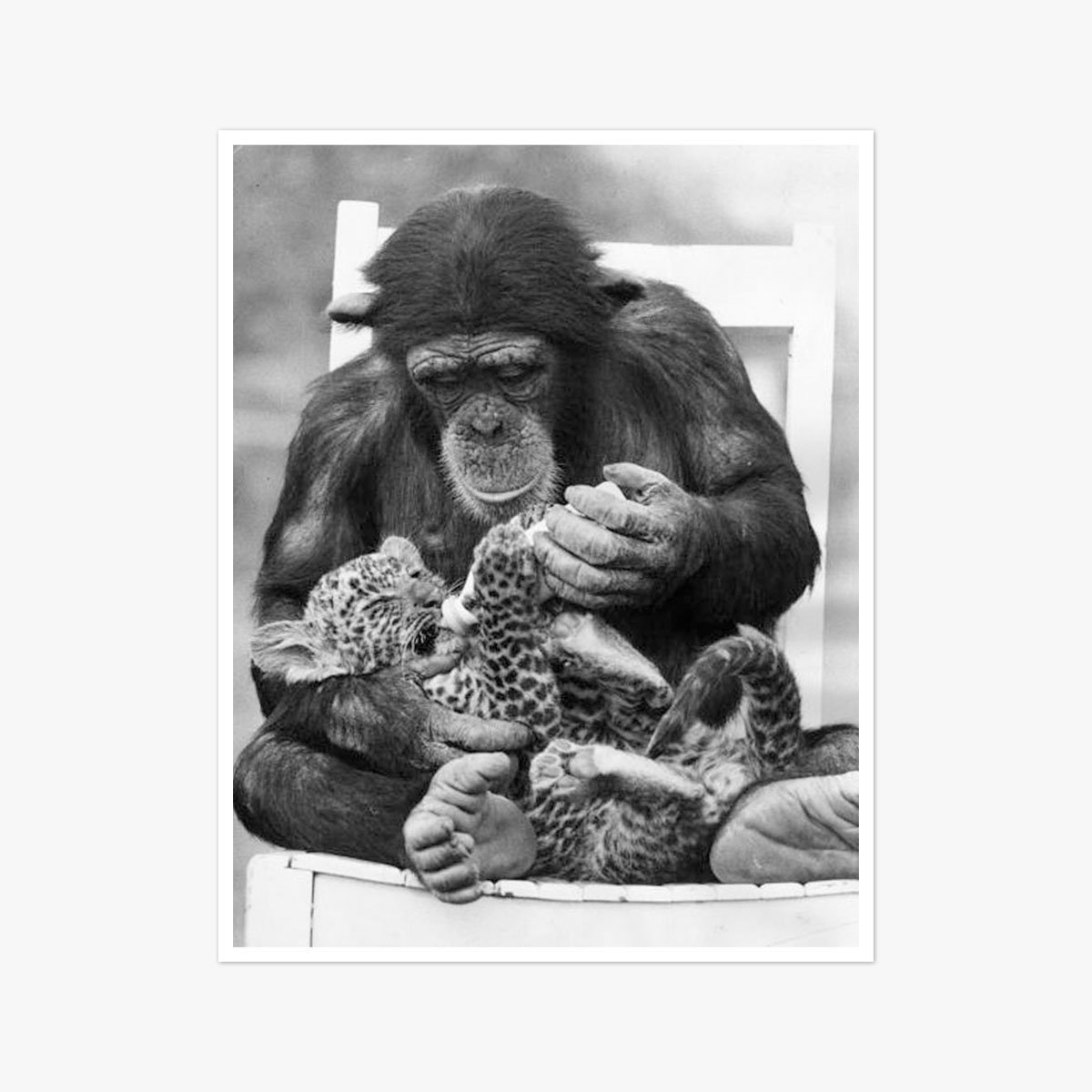 Chimp And Leopard Cub by Ian Tyas